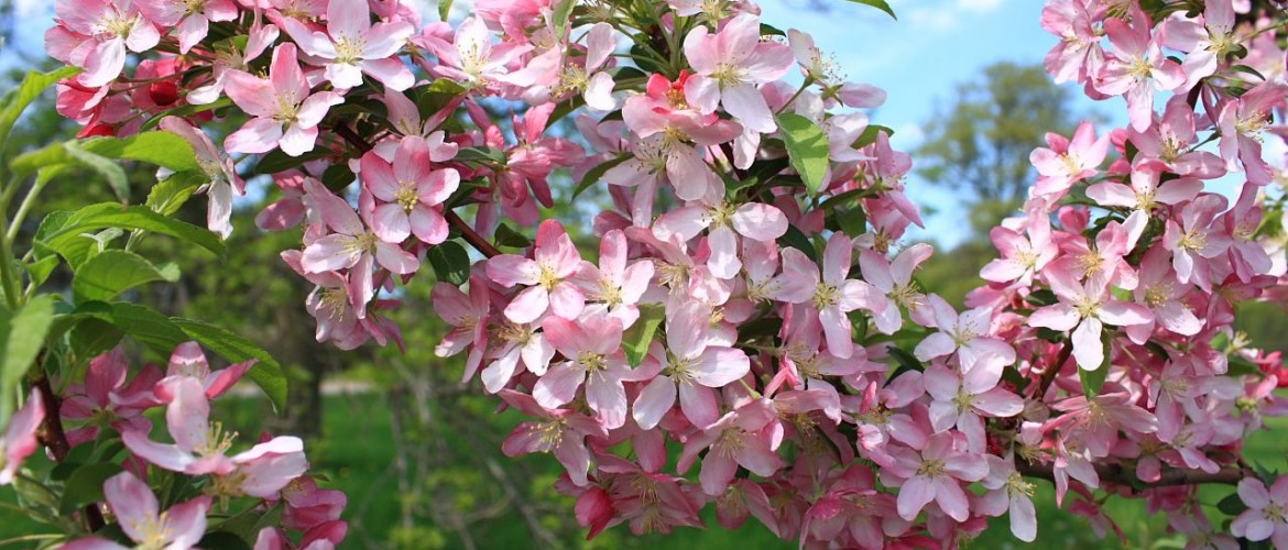 Family Rosaceae - Pink Satin Crabapple Blossoms