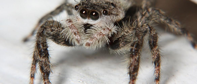 Female Jumping Spider Platycryptus undatus